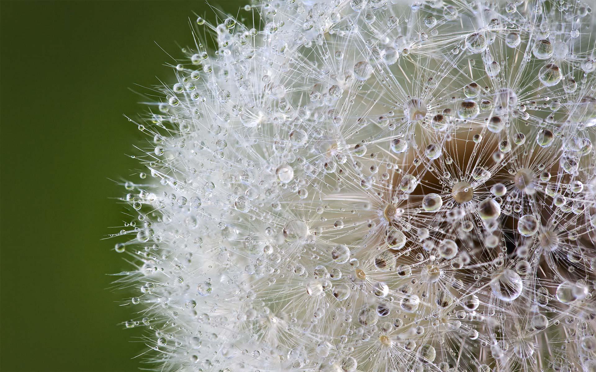 Pusteblume mit Wassertropfen